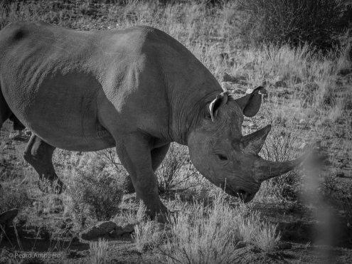 Bowhunting Namibia Pedro Ampuero